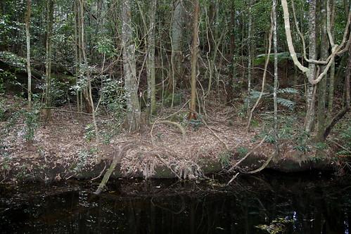 Coachwood (Ceratopetalum apetalum)