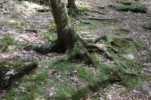 Ironwood (Backhousia myrtifolia) with mosses