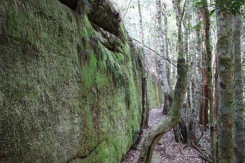 the mossy wall with Coachwood (Ceratopetalum apetalum)