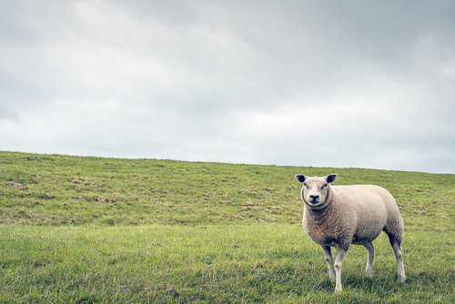 One curiously looking sheep