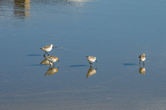 Image by Bud in Wells, Maine (65039623@N05) and image name Shorebirds photo