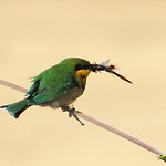 Little Bee-eater with Dragonfly by Bill Wastell