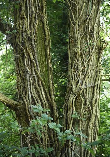 Die Venen (Efeu, Hedera helix)) einer Eiche (Quercus robur); Holbeck, Schwabstedt