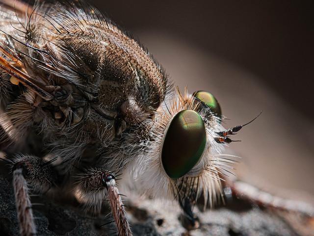 Asilidae (Assasin Fly)