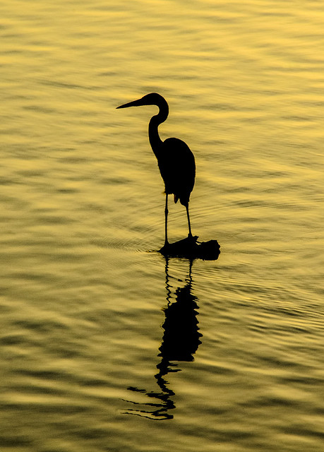 Heron on Red River