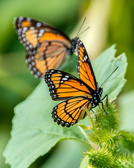 Image by hut640 (184000041@N08) and image name Viceroy Butterflies photo  about I saw several on my hike today in Central Washington