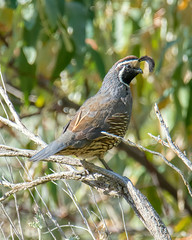 Image by hut640 (184000041@N08) and image name California Quail photo  about In Central Washington. I would like to have gotten a bit closer but there no way as it was wide open. Cropped it is.
