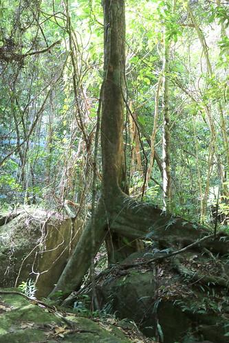 Maidens Blush (Sloanea australis)