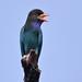 Oriental Dollarbird (Eurystomus orientalis) 三宝鸟