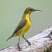 Olive-backed Sunbird (Cinnyris jugularis) 黄腹花蜜鸟