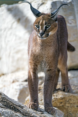 Caracal standing on the stone