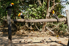Toco Toucans and other birds at the birds feeder ...