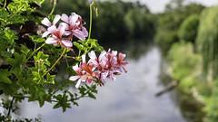 Fleurs au dessus de l'Orne