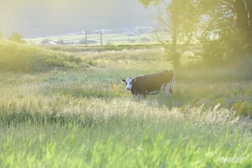 La vache heureuse - Happy cow