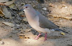 White-tipped Dove (Leptotila verreauxi) male ...