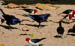 Shiny Cowbirds (Molothrus bonariensis) and Yellow-billed Cardinals (Paroaria capitata)