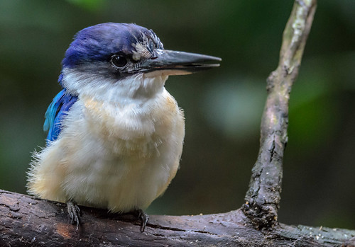 Aussie Kingfisher