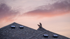 Red-shouldered hawks at Sunrise