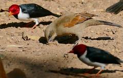 Greyish Baywing (Agelaioides badius) and Yellow-billed Cardinals (Paroaria capitata)