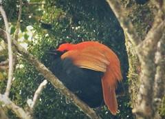 Crested Satinbird. Cnemophilus macgregorii