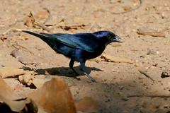 Shiny Cowbird (Molothrus bonariensis) male ...