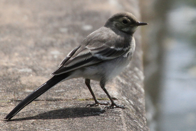 Pied Wagtail, juvenile