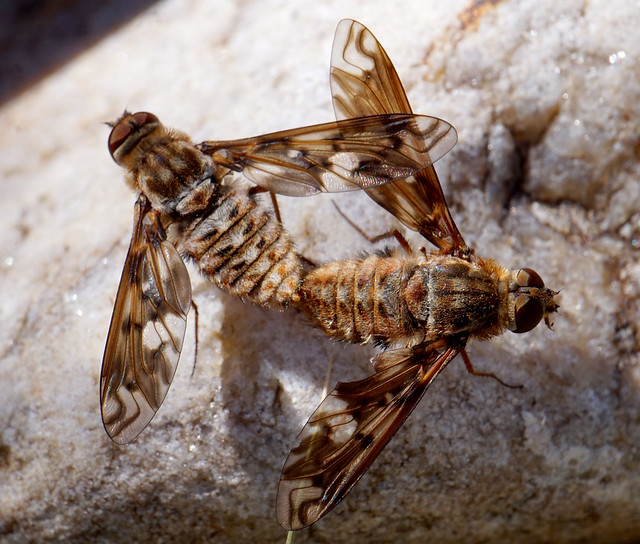 Bee Flies Mating No 1
