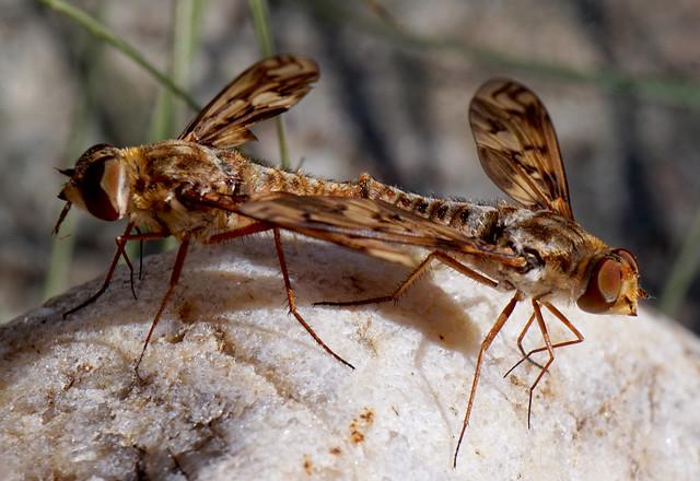 Bee Flies Mating No 2