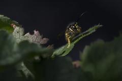 Wesp/ Wasp - Vespula vulgaris