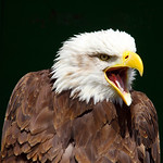 Bald Eagle by Trevor Chapman