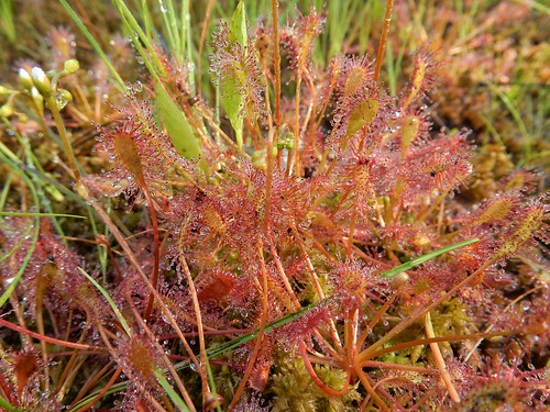 Sundew with Dew (Drosera intermedia)