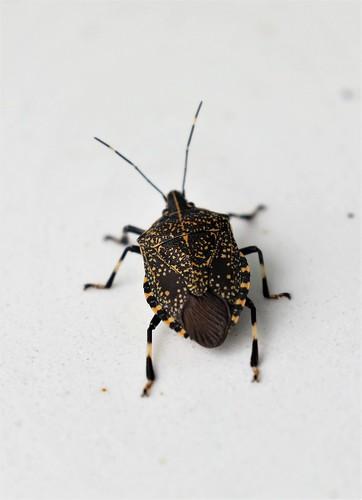 3C3A8179 Stink Bug