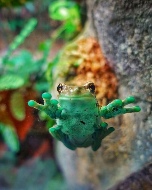 Hanging Frog