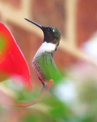 Hummingbird (4)