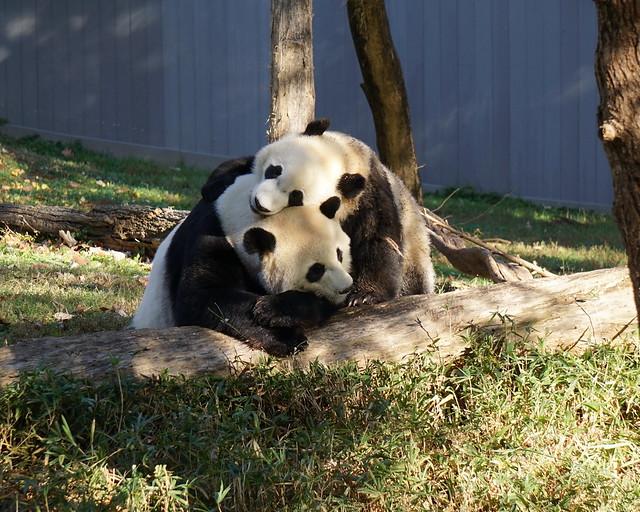 Photo:Panda mother & son cuddling - Mei Xiang & Bei Bei By Al_HikesAZ