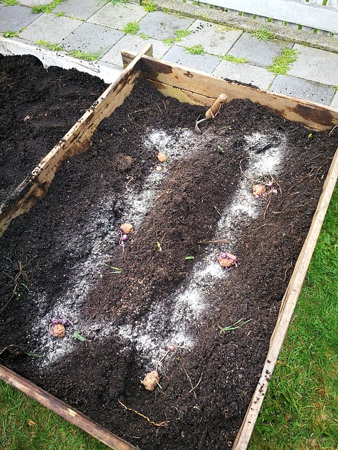 Whataroa potato planting in Front lawn by shiny