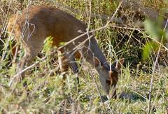 Grey Brocket Deer (Mazama gouazoubira) male grazing ...