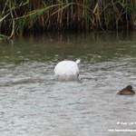 Aves en las lagunas de La Guardia (Toledo) 14-9-2019