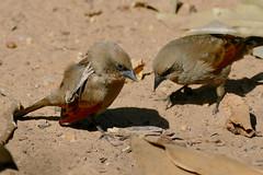 Greyish Baywings (Agelaioides badius)