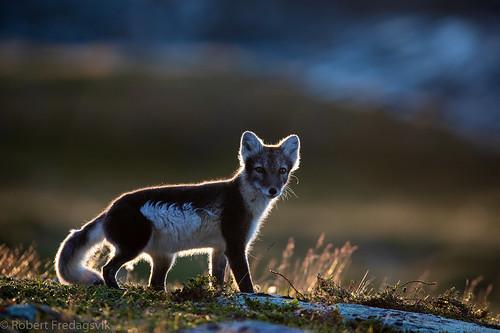 Fjellrev - Arctic fox.jpg