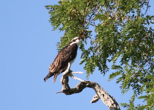 Osprey perched above Myers Park Beach