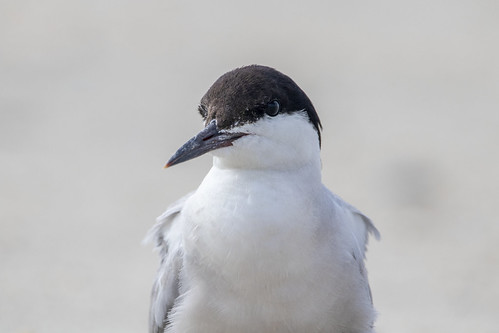 Gull-billed Tern Portrait