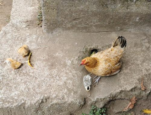gallina y sus pollitos Isla de San Miguel Azores Portugal 04