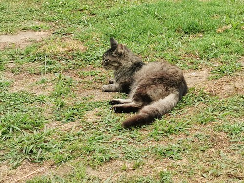 gato fauna caserio Sanguinho Isla San Miguel Azores Portugal