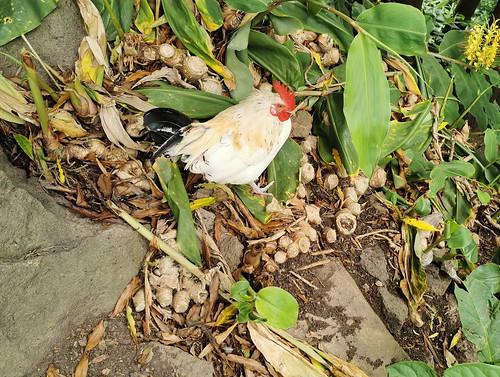 gallo fauna Isla de San Miguel Azores Portugal 01