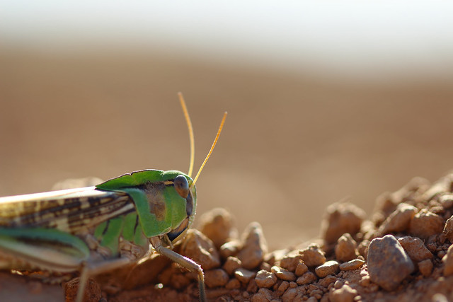 Un peu perdu - Locusta migratoria
