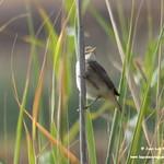 Aves en las lagunas de La Guardia (Toledo) 7y8-9-2019