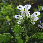 White Dead Nettle by George Stodulski