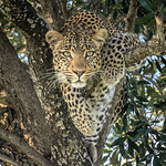 Female Leopard-Masai Mara by JUNE SPARHAM