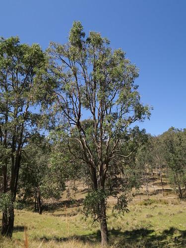 Angophora floribunda tree DC2-3